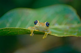 Image of Green Bright-eyed Frog