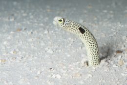 Image of Black spotted garden eel