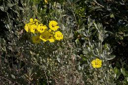 Image of <i>Halimium halimifolium</i> (L.) Willk.