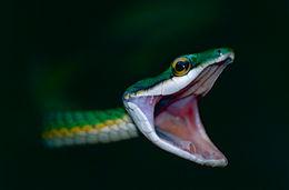 Image of Green Parrot Snake