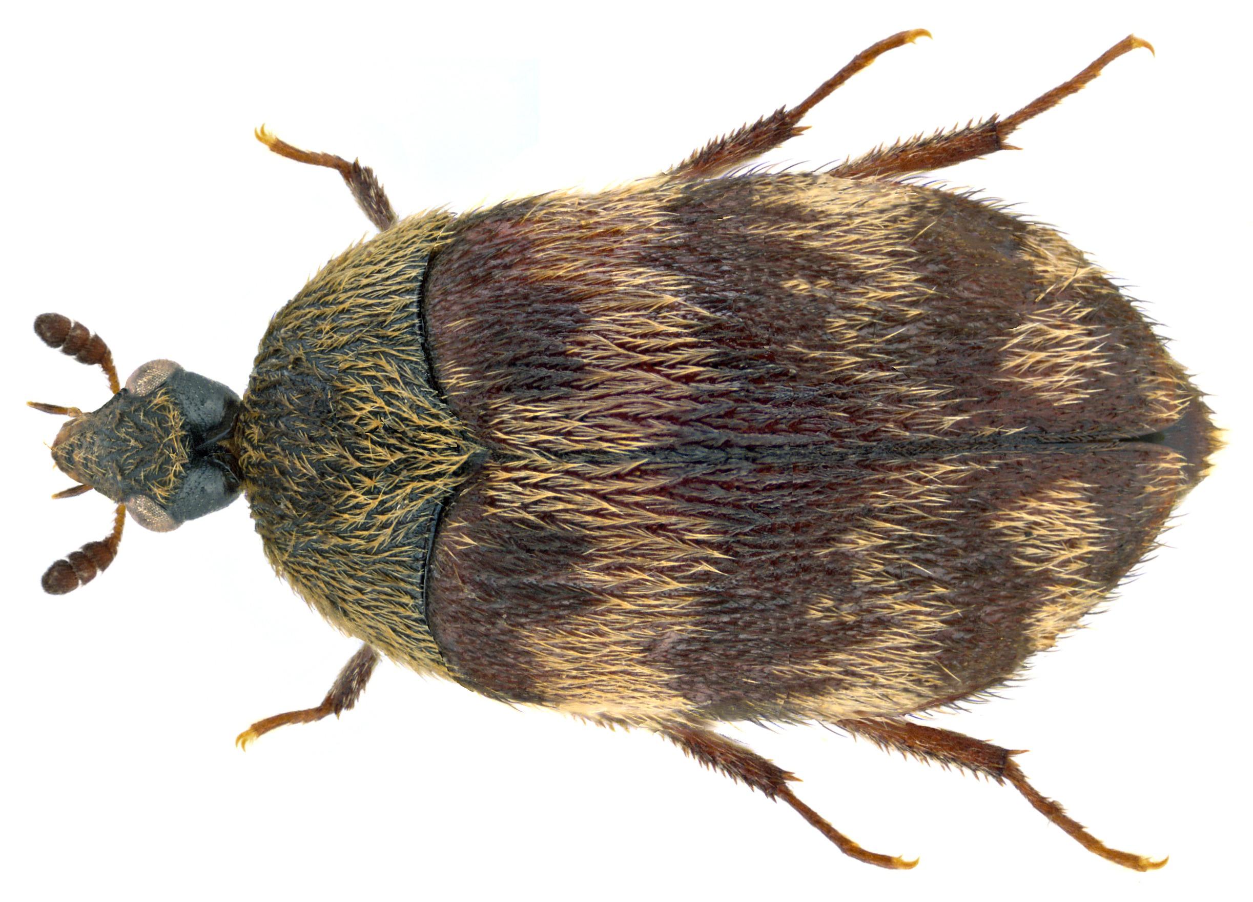 Image of <i>Attagenus trifasciatus</i> (Fabricius 1787) Fabricius 1787