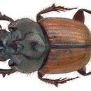 Image of <i>Onthophagus</i> (<i>Trichonthophagus</i>) <i>quadricuspis</i> D' Orbigny 1908