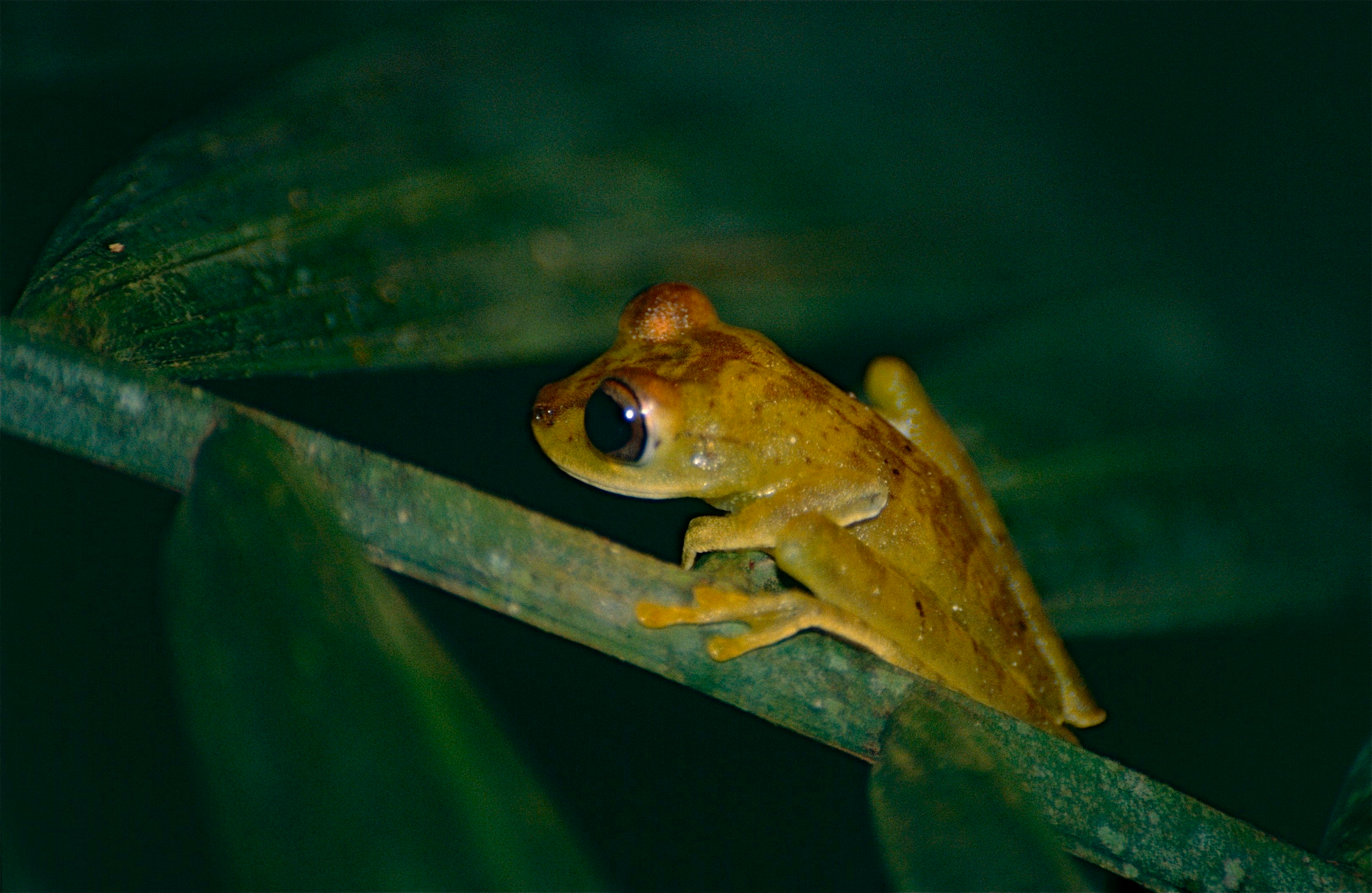 Image of Gunther's banded treefrog
