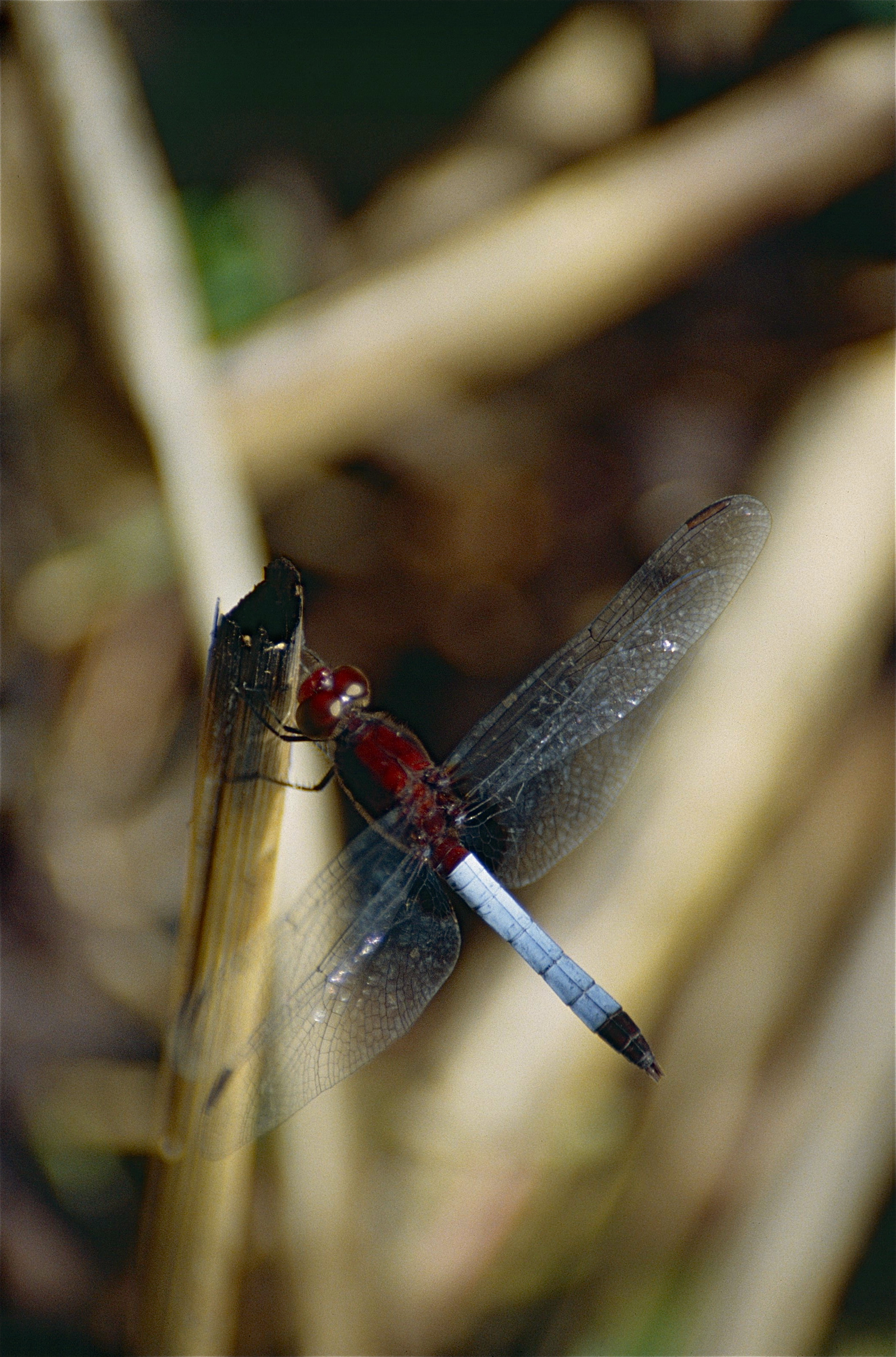 Image of Red-faced Dragonlet