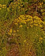 Image of slender goldentop