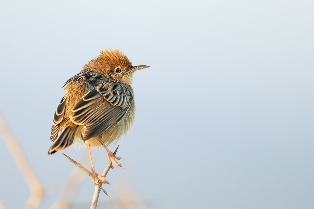 Image of Golden-headed cisticola