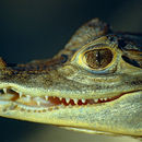 Image of crocodilians