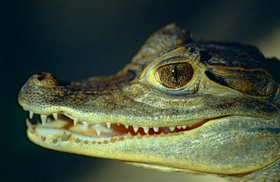 Image of Common Caiman