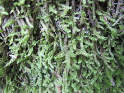 Image of undulate neckeropsis moss