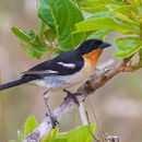 Image of White-rumped Tanager