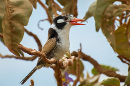 Image of White-eared Puffbird