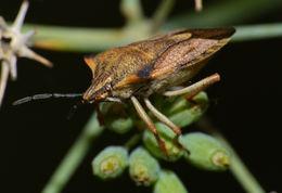 Image of <i>Carpocoris purpureipennis</i>