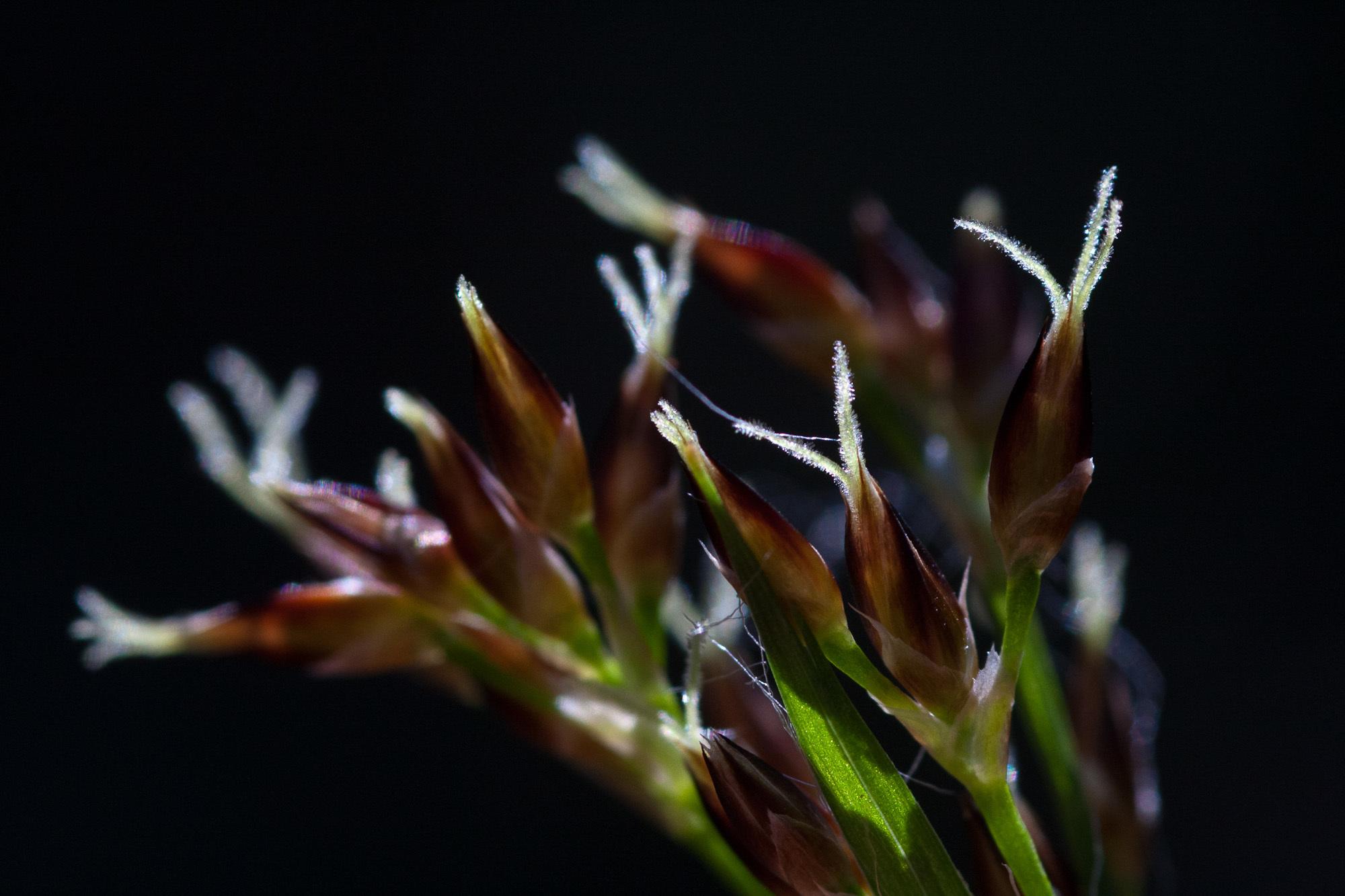 Image of <i>Luzula forsteri</i> (Sm.) DC.