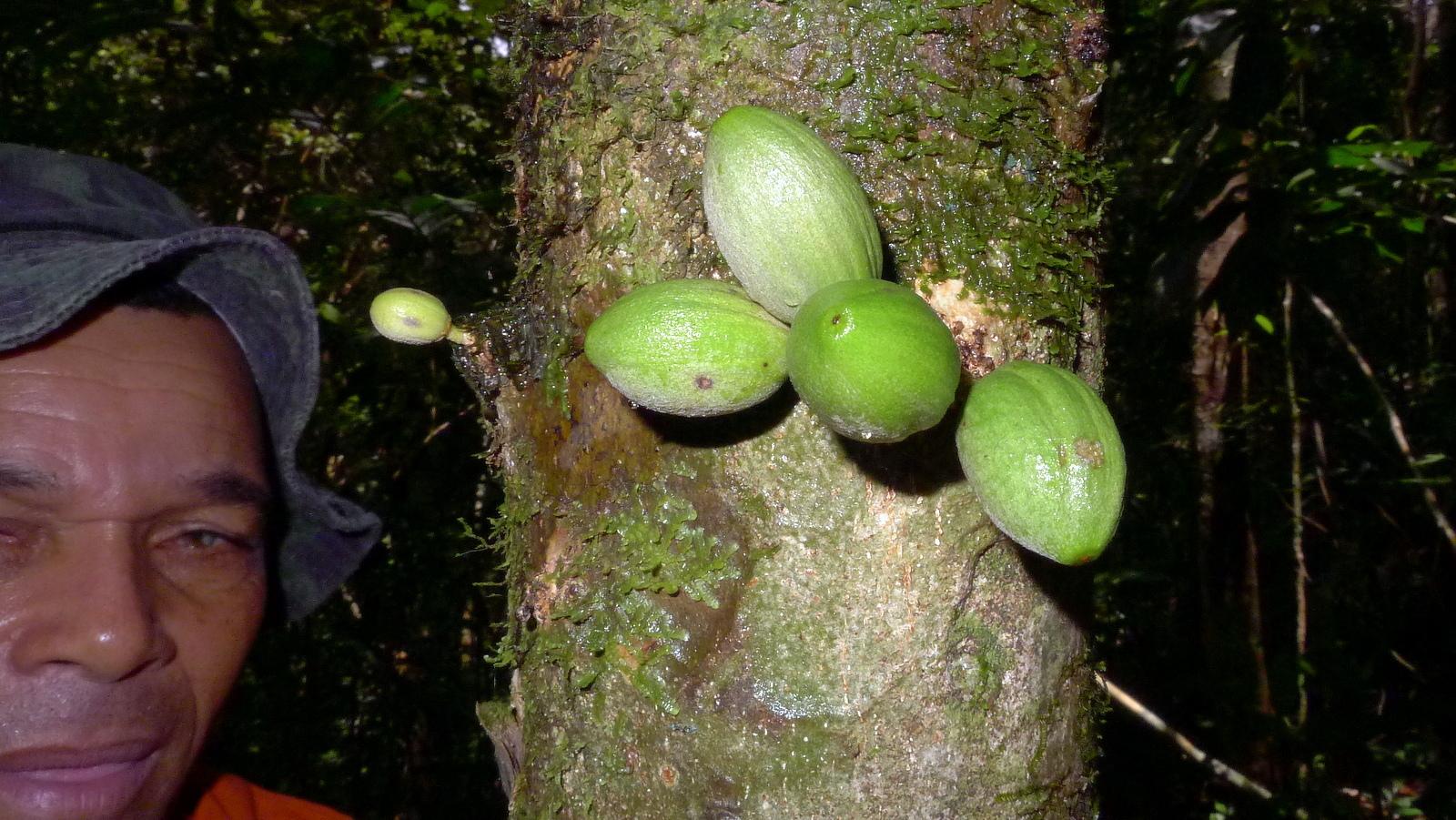 Image of <i>Pradosia lactescens</i> (Vell.) Radlk.