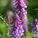 Image of bird vetch
