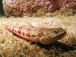 Image of Variegated lizardfish