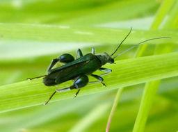 Image of <i>Oedemera nobilis</i>