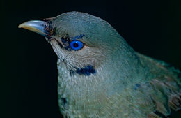 Image of Satin Bowerbird
