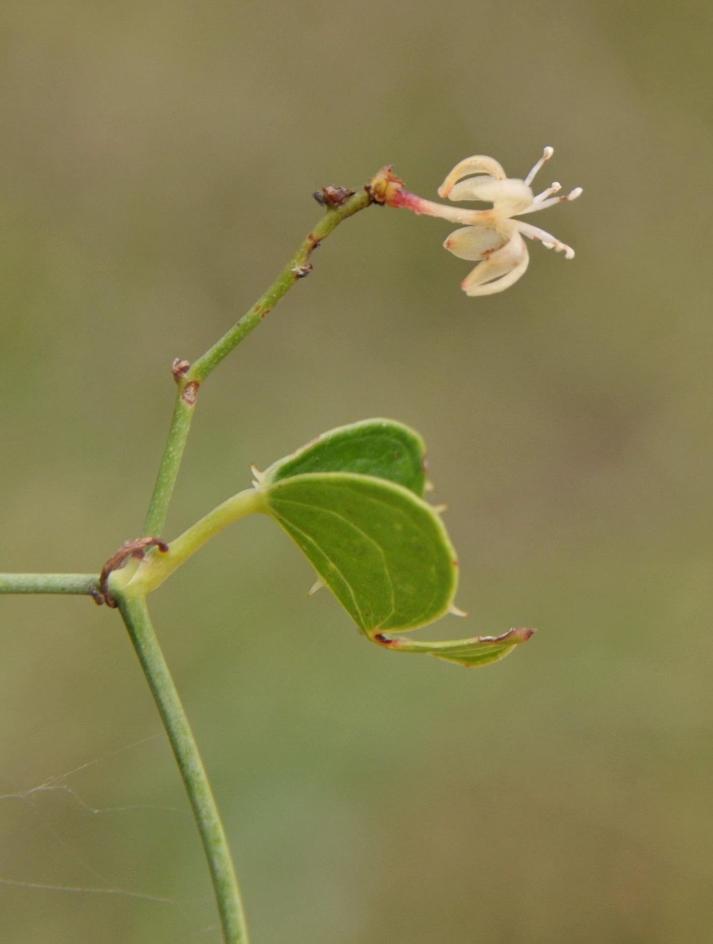 Image of catbrier