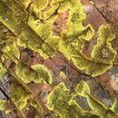 Image of Gold cobblestone lichen