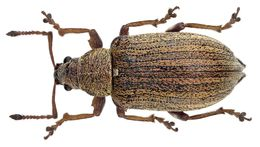 Image of Common Leaf Weevil