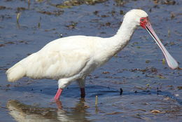 Image of African Spoonbill