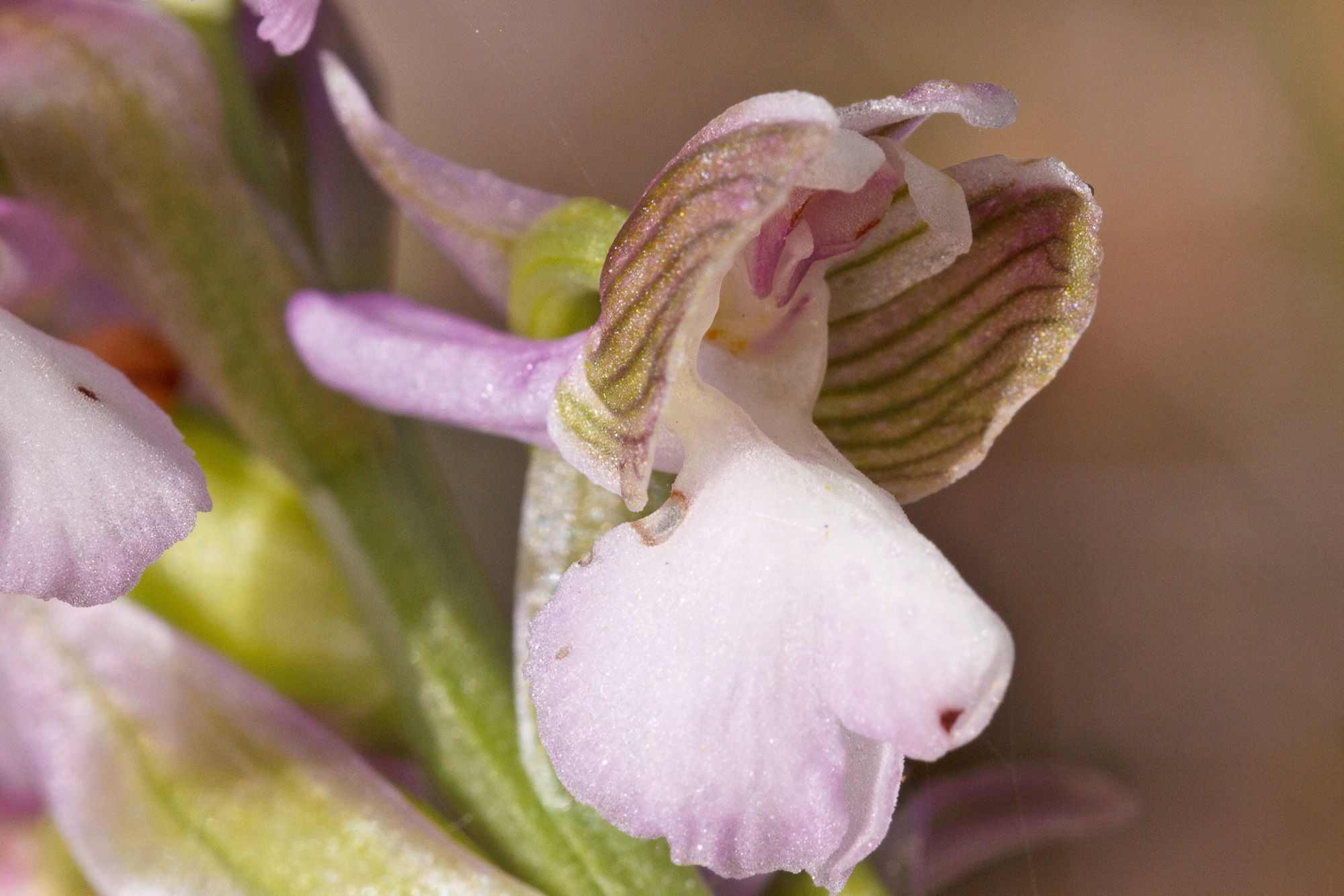 Image of Green-winged Orchid