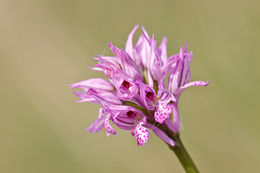 Image of Three-toothed orchid