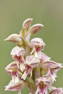 Image of Dense-flowered orchid