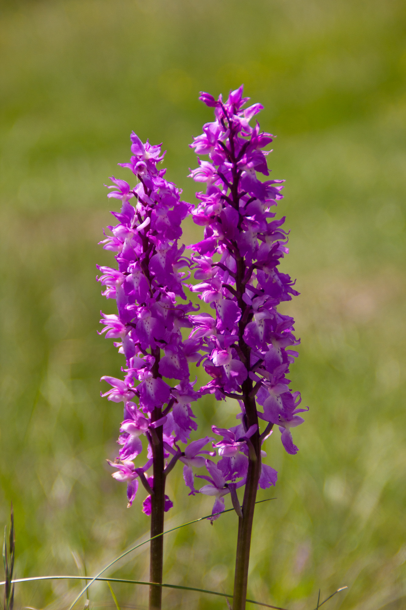 Image of Early purple orchid