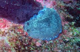 Image of Blue-speckled nudibranch