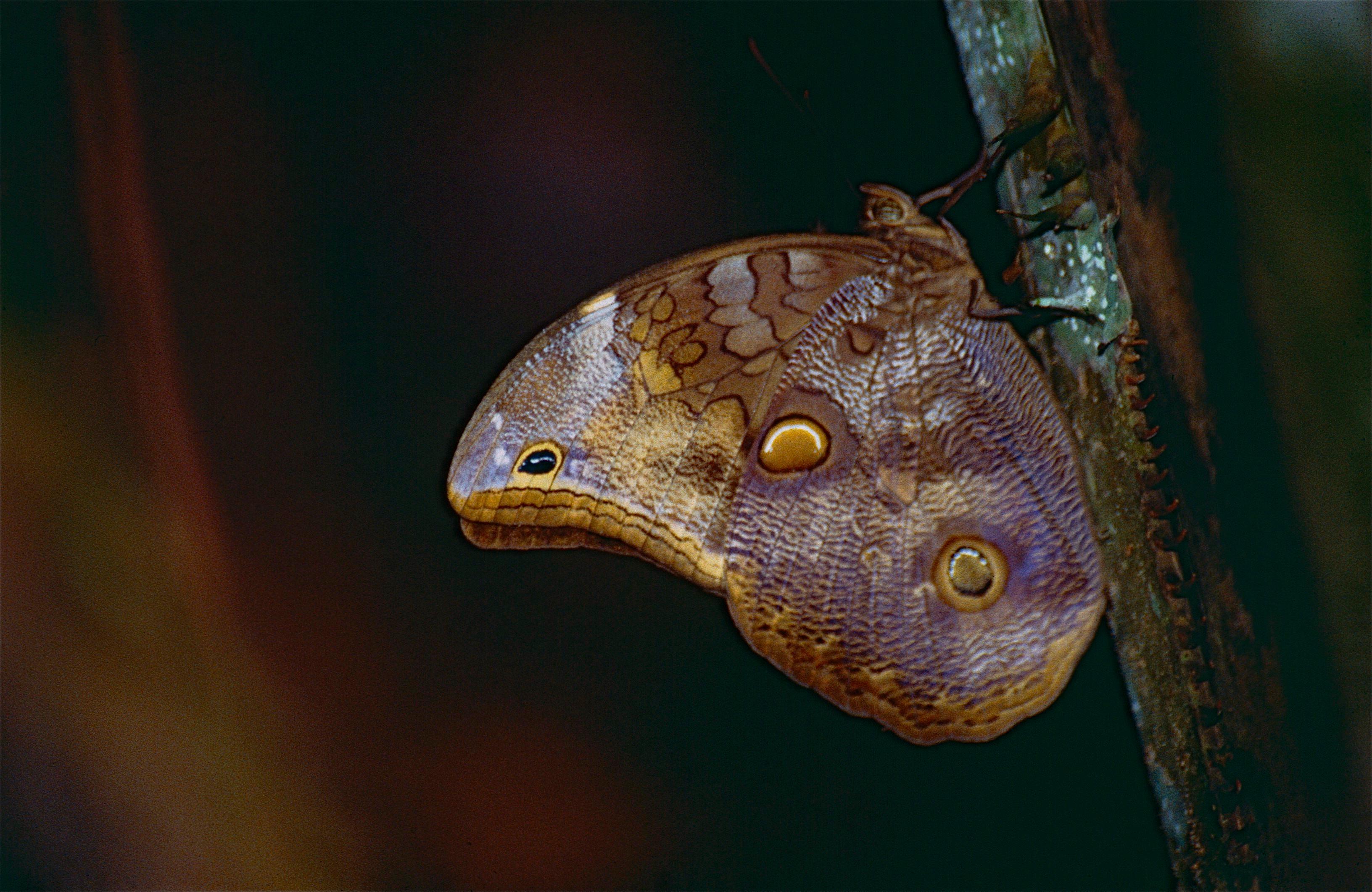 Image of <i>Catoblepia <i>xanthus</i></i> ssp. xanthus