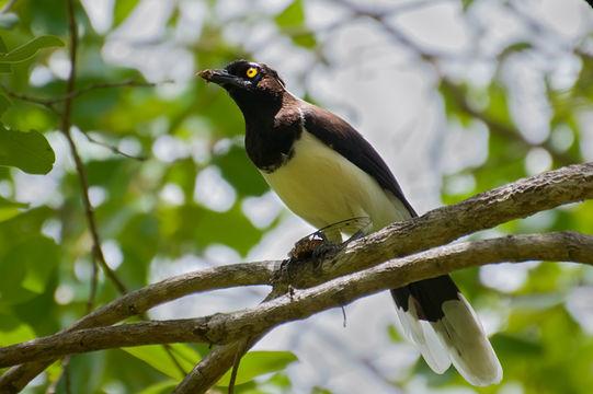 Image of White-naped Jay