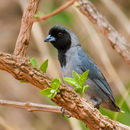 Image of Black-faced Tanager