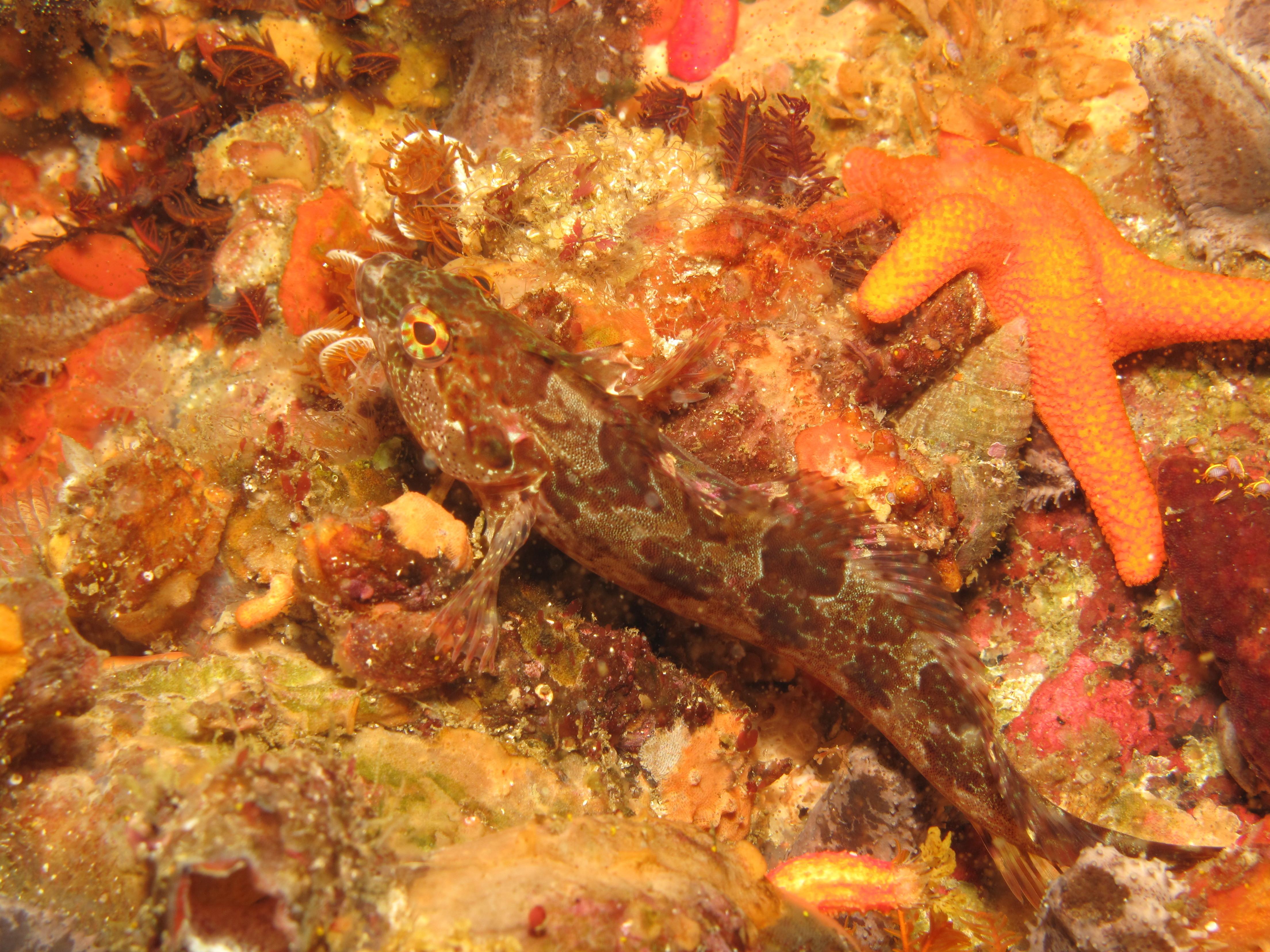 Image of Agile klipfish