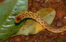 Image of <i>Thamnodynastes pallidus strigilis</i>
