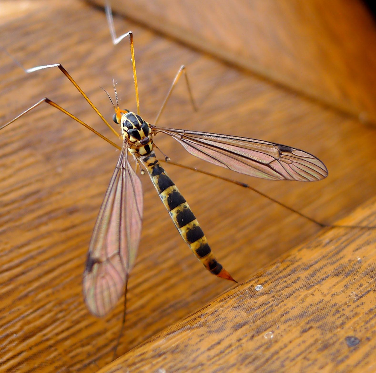 Image of Tiger Crane Flies