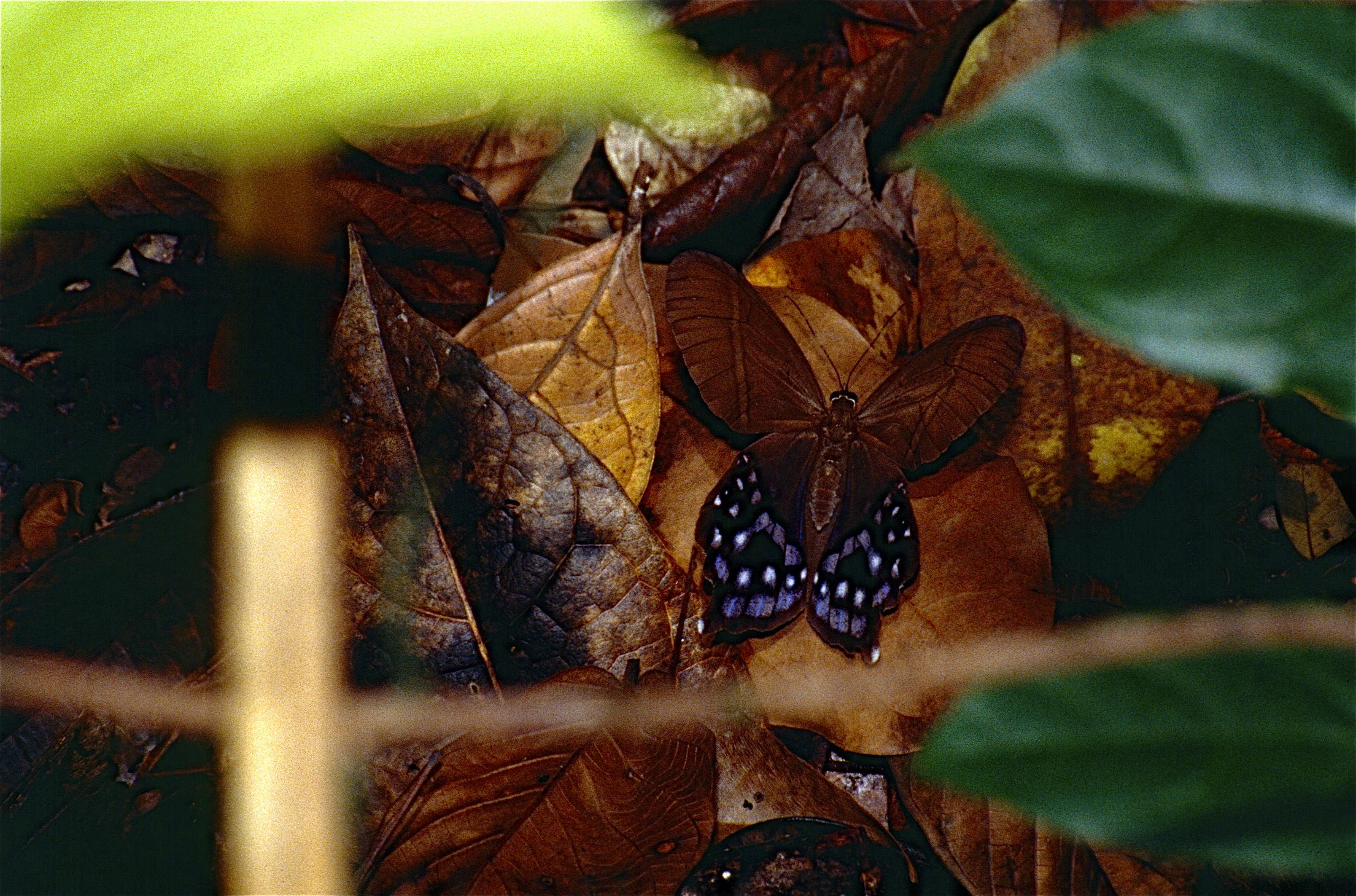 Image of <i>Pierella <i>hyalinus</i></i> ssp. hyalinus