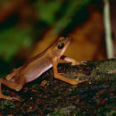 Image of Cayenne Stubfoot Toad
