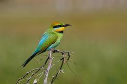 Image of Rainbow Bee-eater