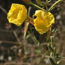 Image of redsepal evening primrose