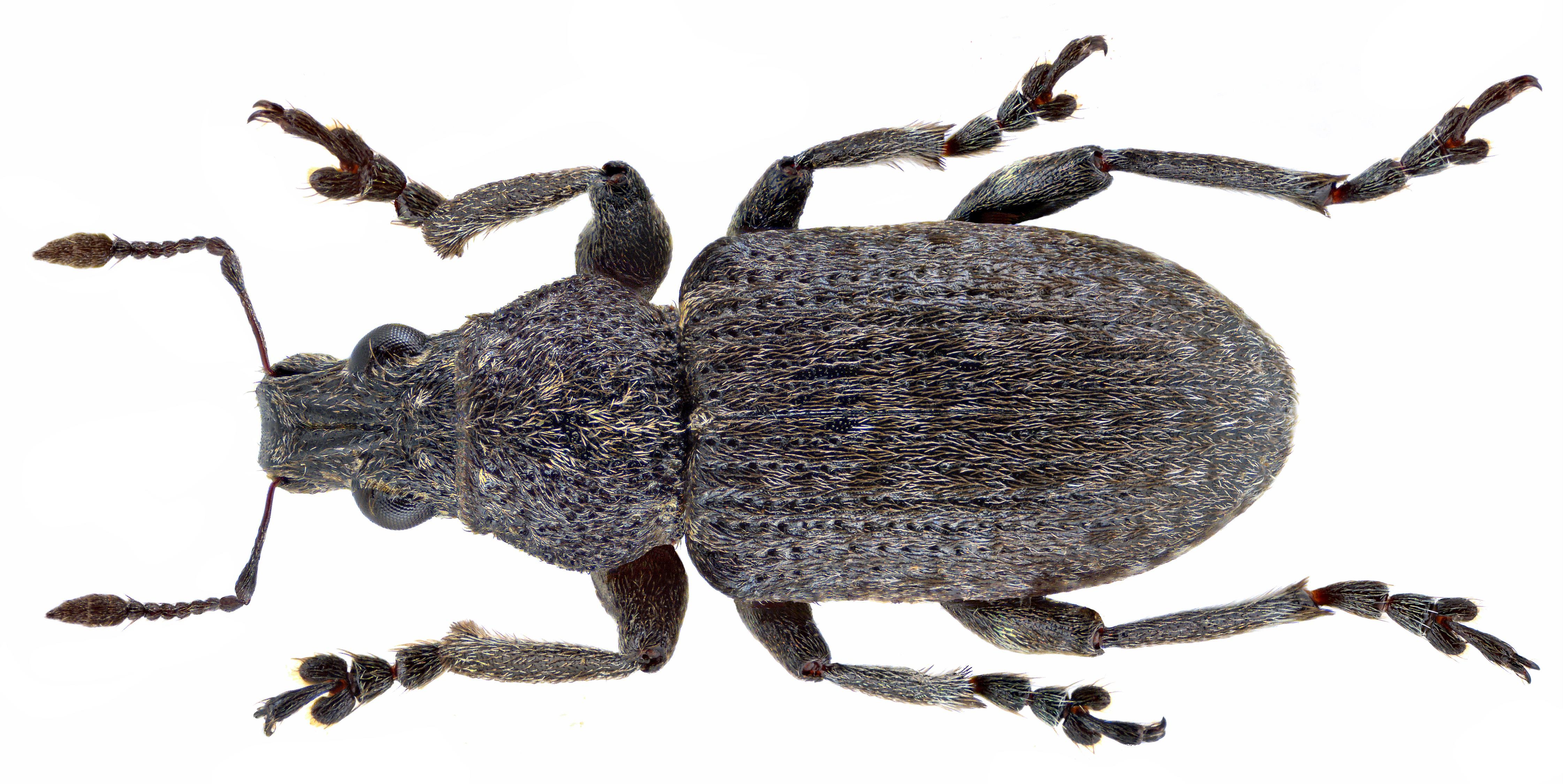 Image of <i>Sitona cambricus</i> Stephens 1831