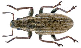 Image of Pea Leaf Weevil