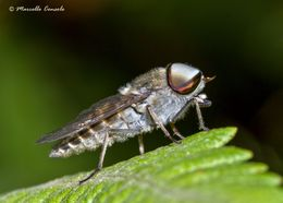 Image of downland horsefly
