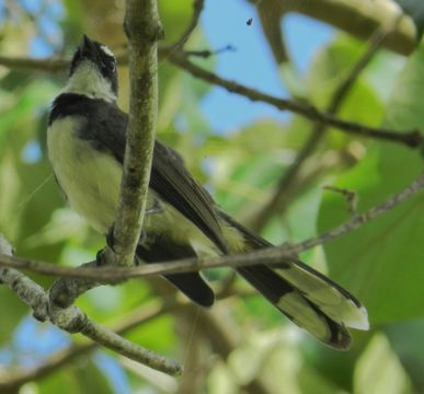 Image of Philippine Pied Fantail