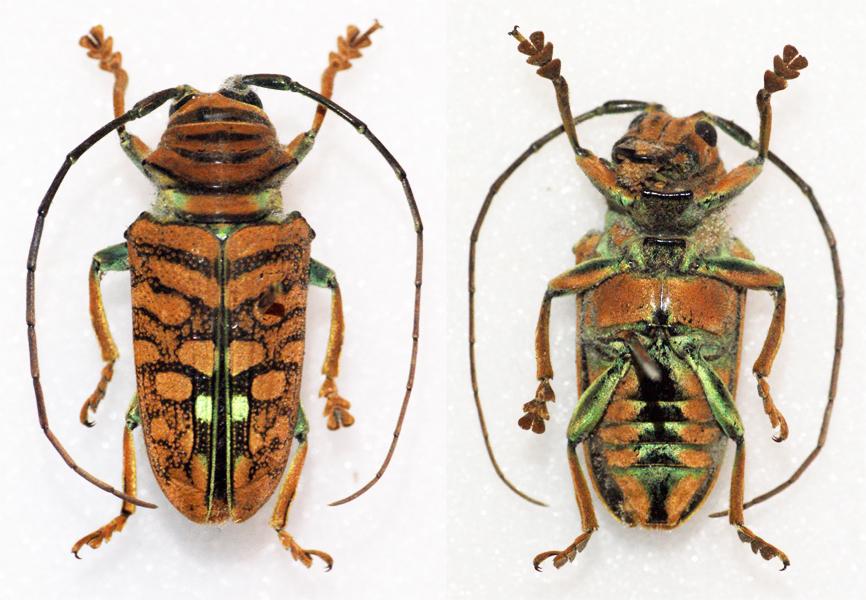 Image of <i>Sternotomis chrysopras</i> (Westwood 1844)