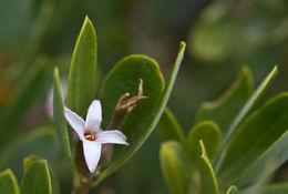 Image of Olive Daphne