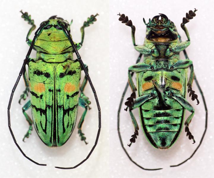 Image of <i>Sternotomis callais</i> Fairmaire 1891
