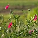 Image of round pricklyhead poppy