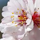 Image of sweet almond